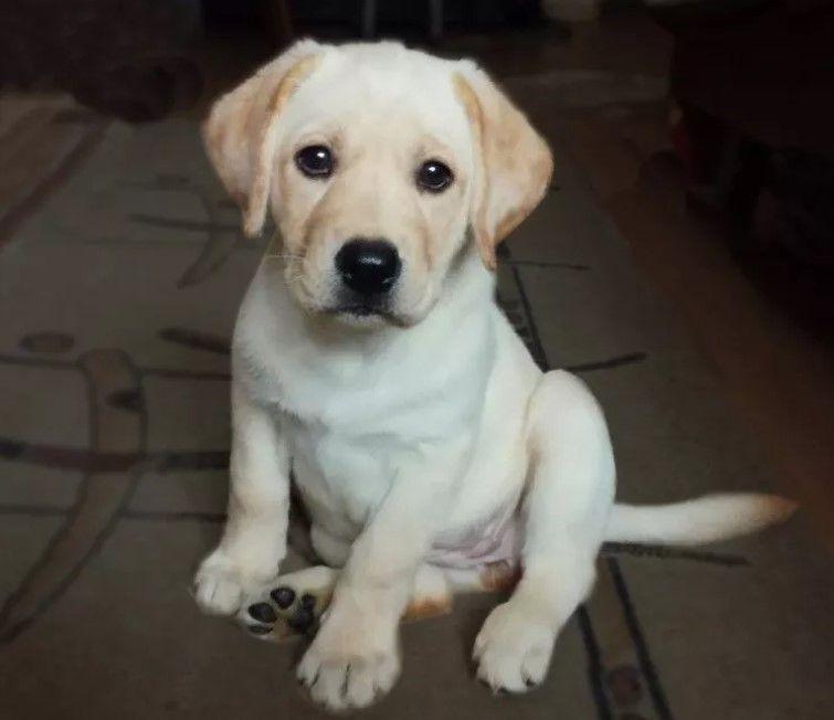 60 Male Labrador Dog Names Labradorpuppynamesmale