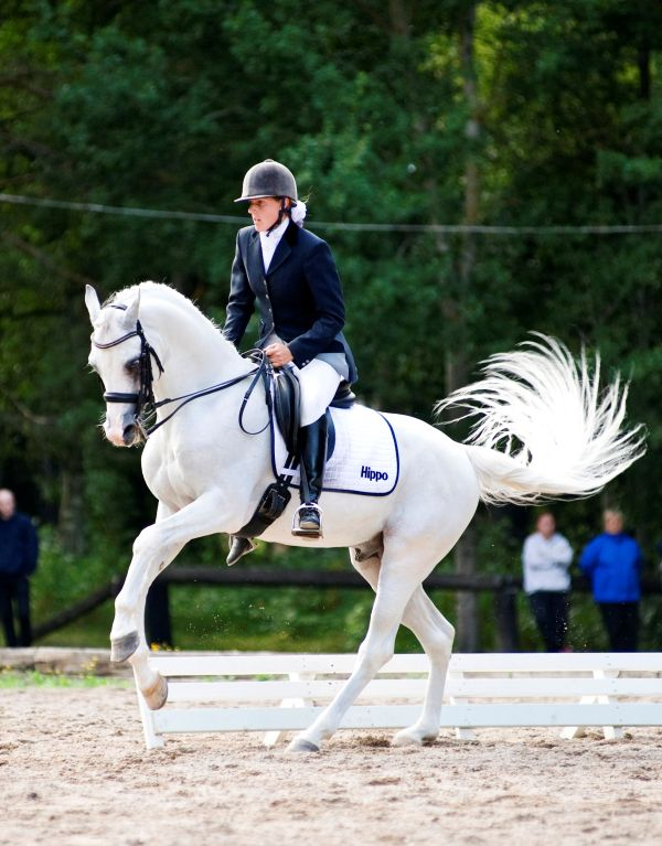 Champion Arabian Sport Horse In-Hand & Dressage Gelding ...