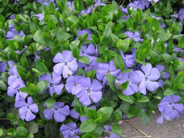 plantes couvre sol croissance rapide dans le jardin moderne plantes plantes couvre sol