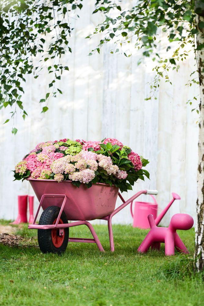 Gartendekoration Hortensien In Pink Schubkarre Alles In Rose Hortensien Erhaltlich Bei Blumen Kaiser Ham Blumenarrangements Diy Blumengarten Design Pflanzen