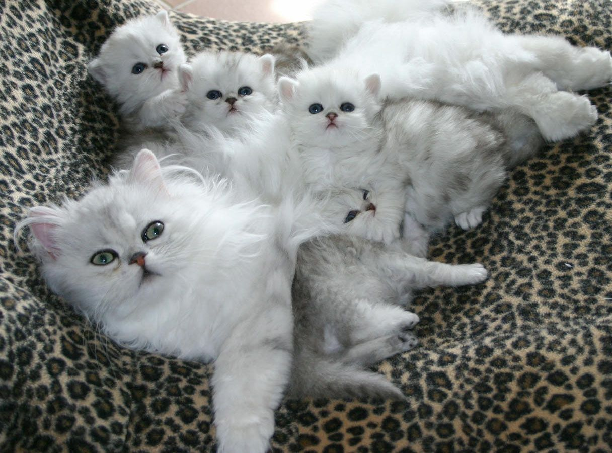 Silver Shaded Persian Babies Cute Cats And Kittens Cute Cats Kittens Cutest