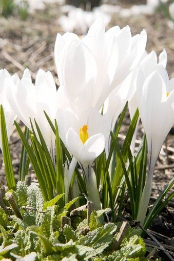 What do with spring bulbs after they finish blooming. Don't cut back the leaves!