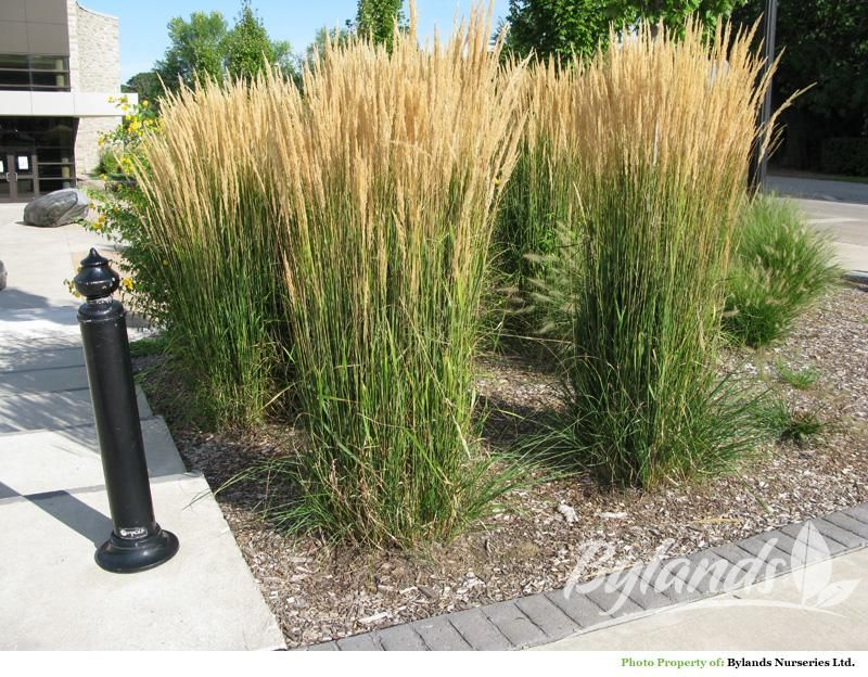 Foerster S Feather Reed Grass Calamagrostis X Acutiflora Karl Foerster Front Garden Design Feather Reed Grass Tall Ornamental Grasses