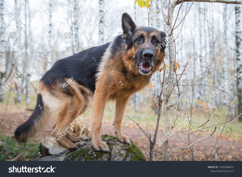 Dog German Shepherd Outdoors In An Autumn Day Walking In A Park