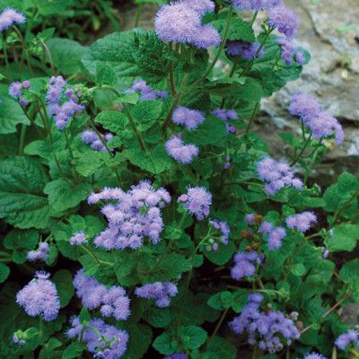 Know : 30 Mosquito Repellent Plants | Mosquito repelling ...