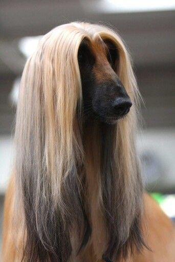 Onlajn Psiholog Domashnih Pitomcev Animal Psychology Http Psychologiespets Ru Fb Https Www Facebook Com Animal Afghan Hound Pure Breed Dogs Hound Dog