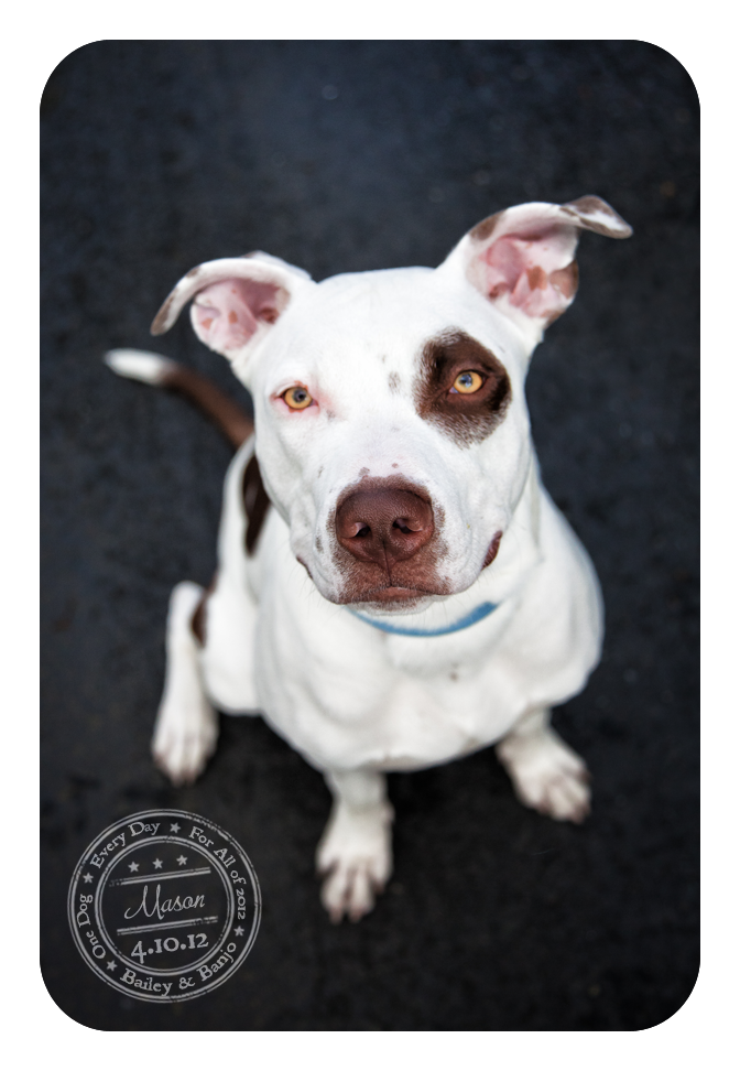 Mason - April 10 - Adoptable Pitbull...see post for ...