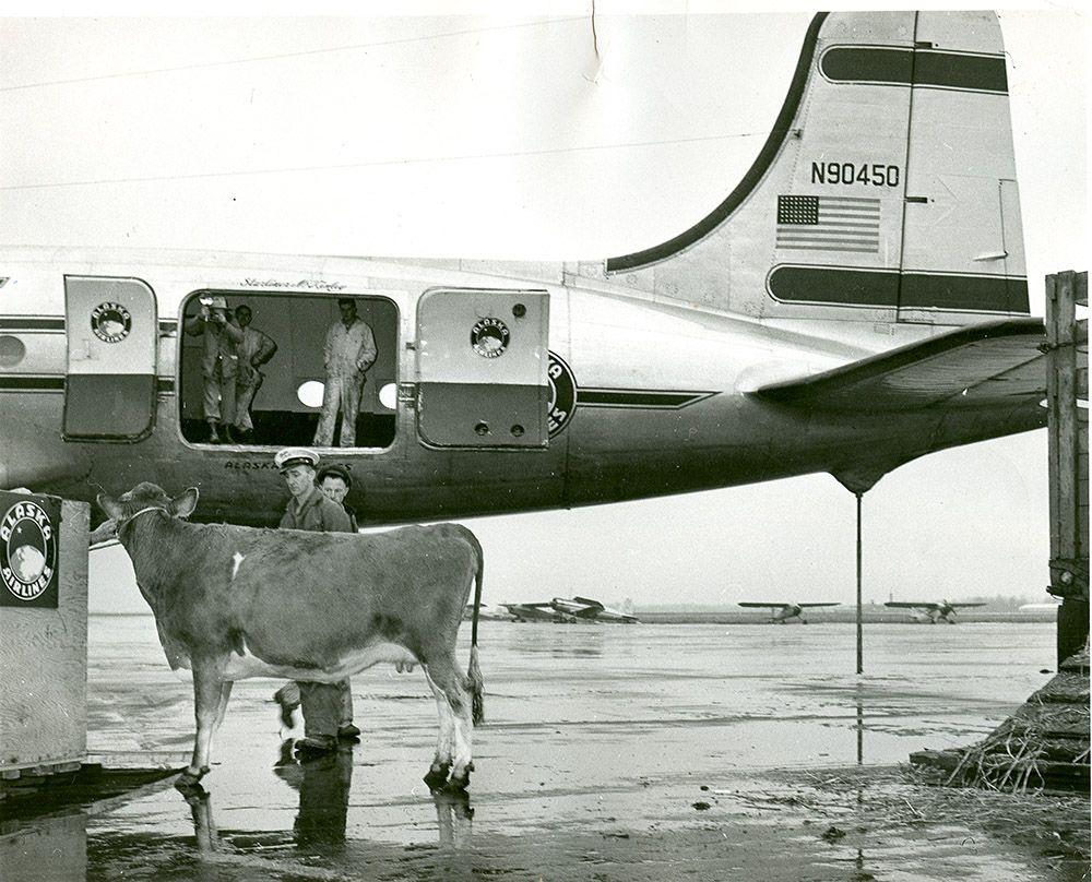 Moo'vin aboard an Alaska flight? Air cargo, Alaska air