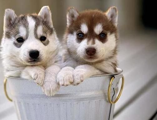 Just A Couple Of Huskies Puppies In A Bucket Cute Animals