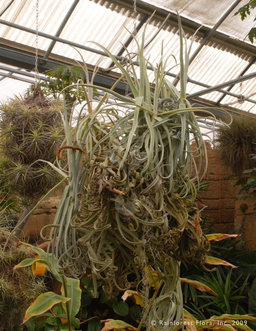 Rainforest Flora Amazing Tillandsia Duratii Air Plants Low
