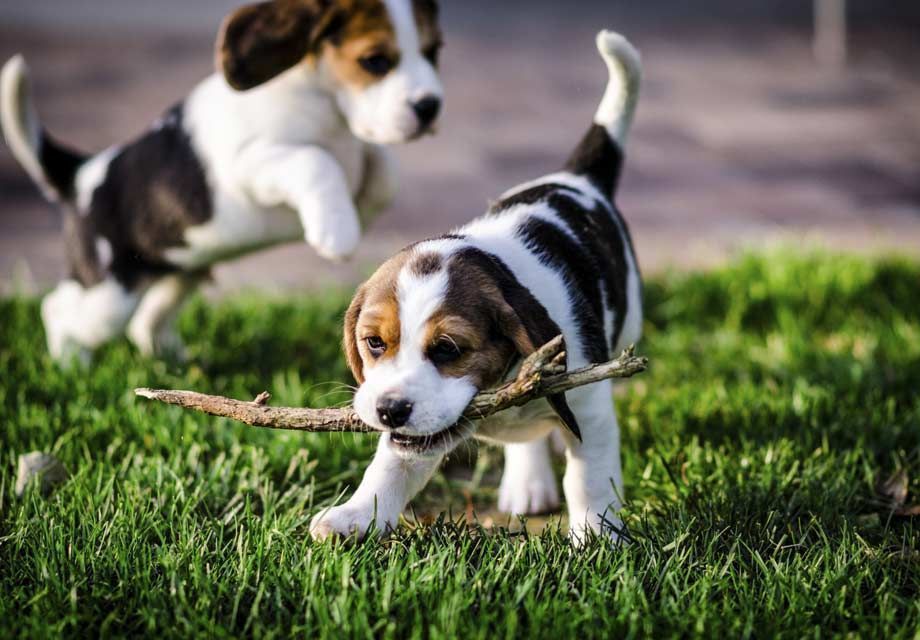 Find Beagle Puppies In Your Area And Helpful Tips And Info All