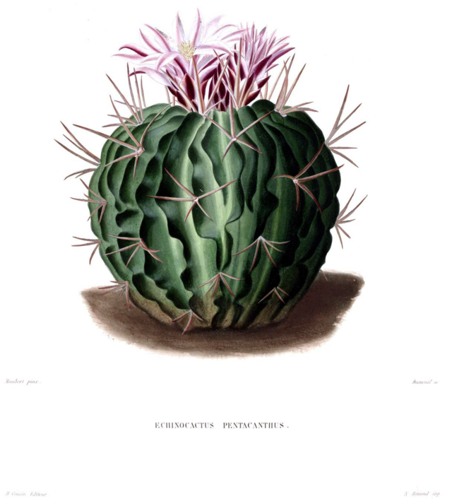 Category:Cactaceae botanical illustrations — Wikimedia ...
