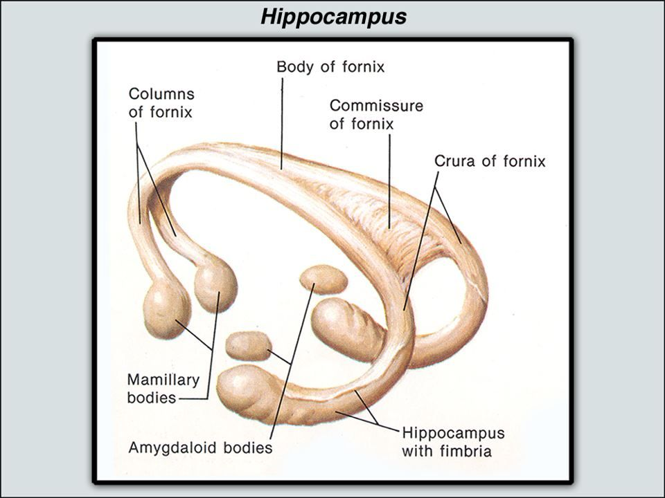 In Alzheimer\'s disease, the hippocampus is one of the first regions ...