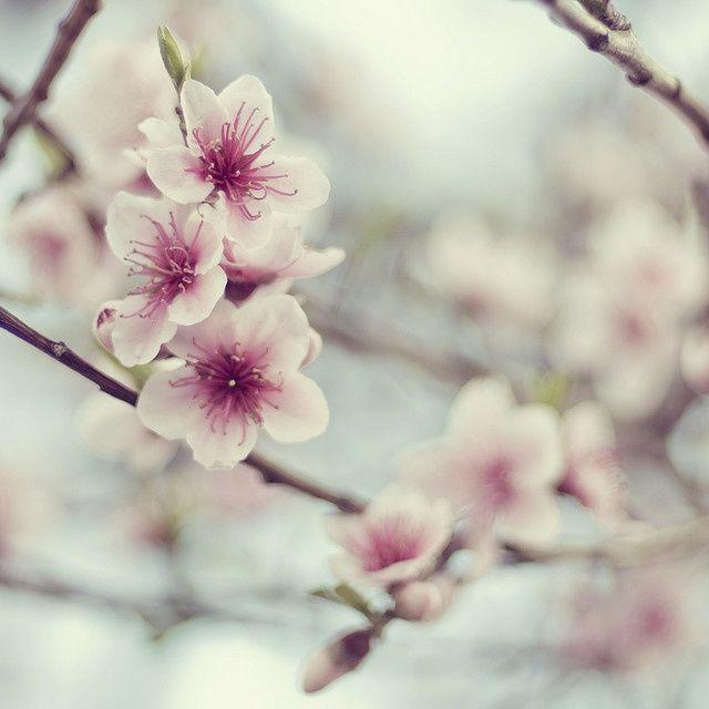 Beautiful Cherry Blossom My Favourite Cherry Blossom Blossom Cherry Blossom Tree