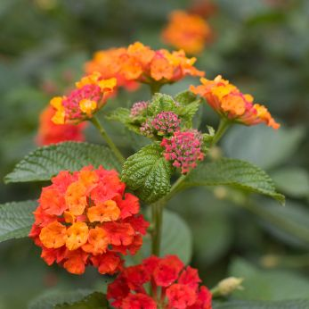 Lantana Plants Are 15 Off Until May 31 Use Discount Code 15lan0513 Lantana Plant Plants Plant Sale