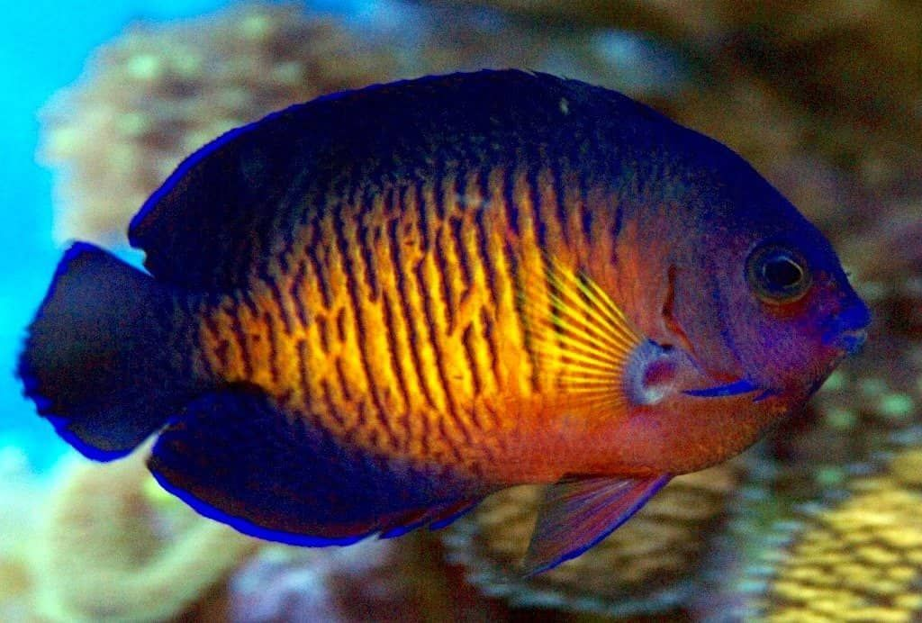 Coral Beauty Angelfish Care Guide If You Re Thinking Of Buying A Coral Beauty Angelfish Then Read In 2020 Tropical Fish Tanks Saltwater Aquarium Fish Marine Fish