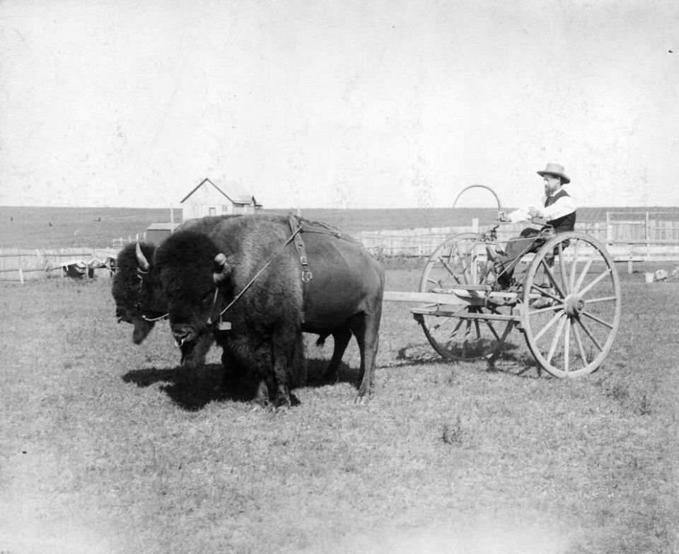Bison Trained To Lead Historical American West