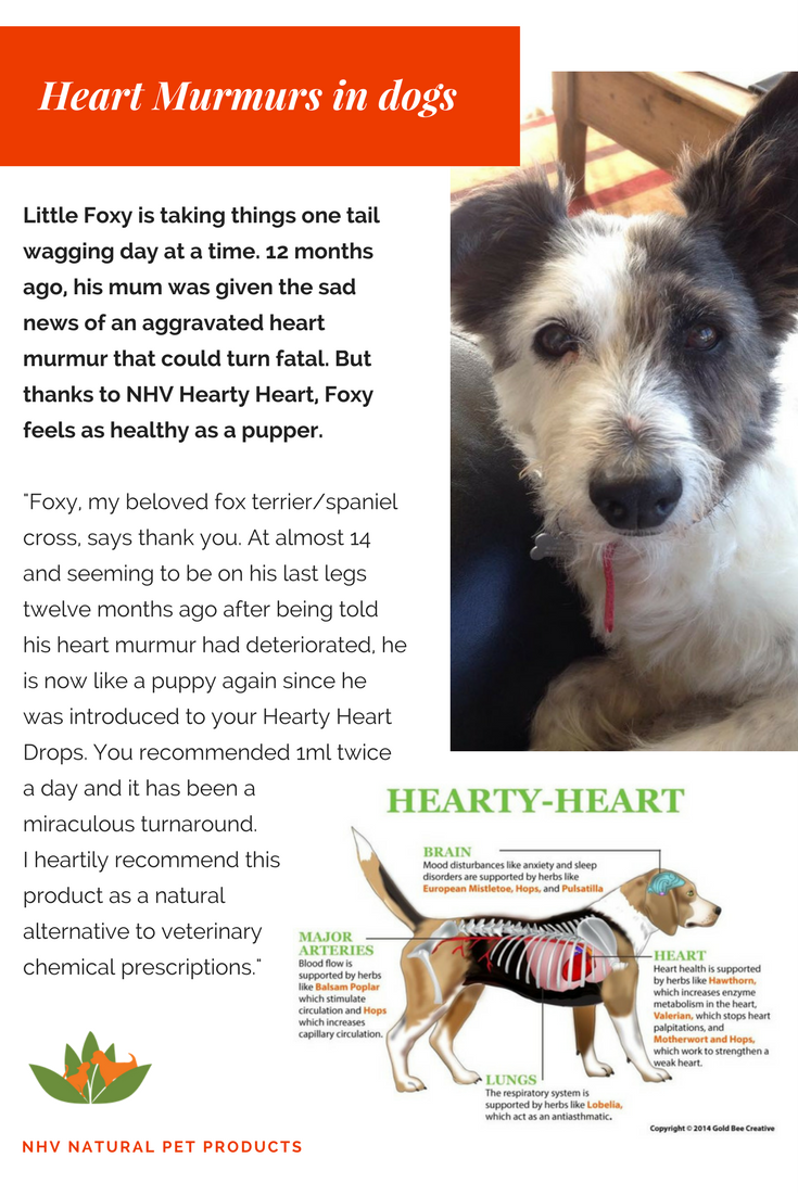 14 Years Old Dog S Secret Behind A Young And Healthy Heart Heart Murmur Liver Problems Heart Disease