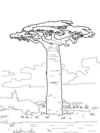 Grandidier 039 S Baobab Coloring Page African Tree Tree