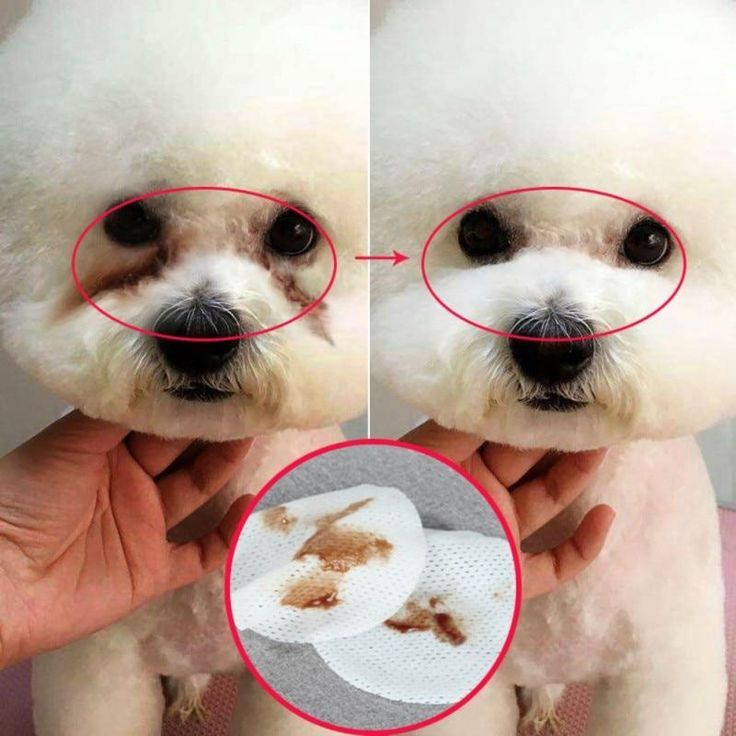 how to get rid of tear stains on maltese dogs
