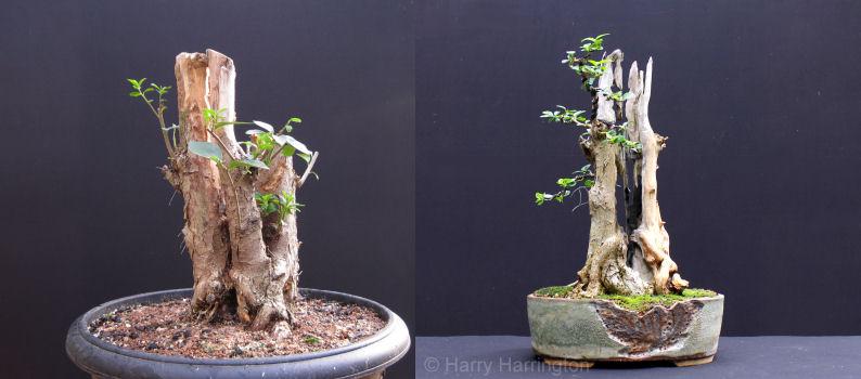 #bonsai #carving #privet #trunks