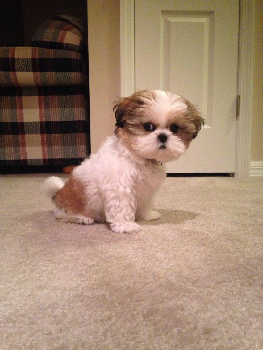 Zoey The Shih Tzu Shih Tzu Dog Shih Tzu Puppy Cute Baby Animals
