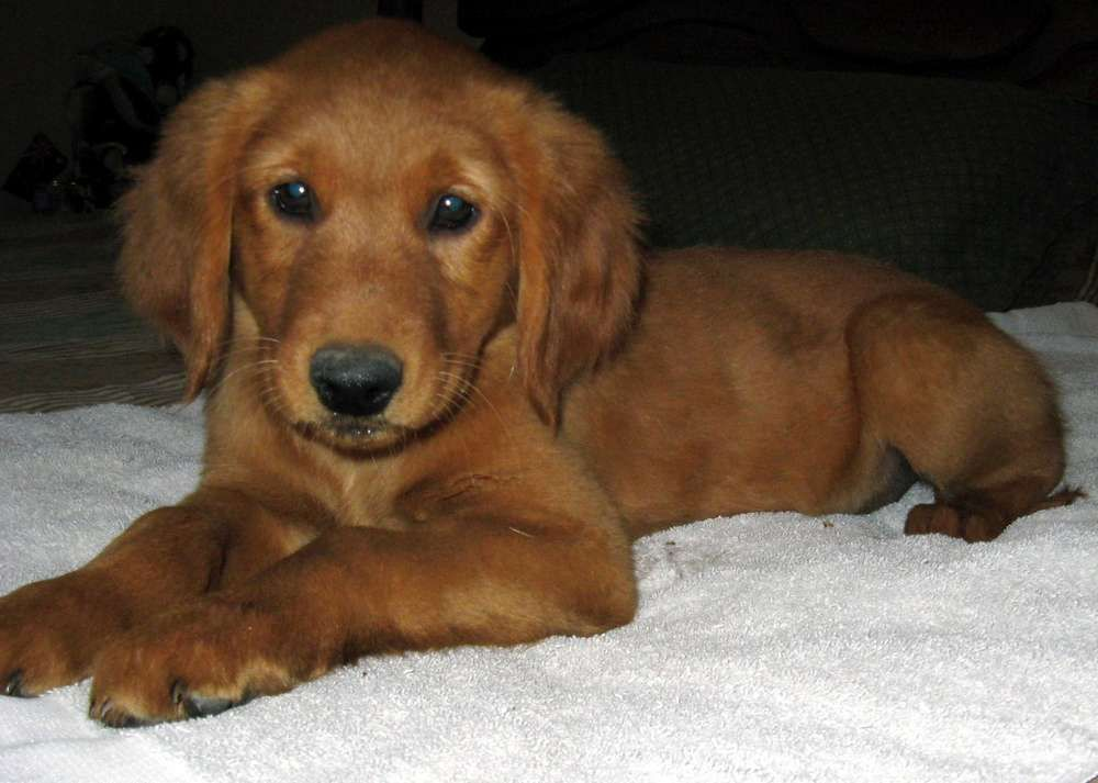 I Think Berkleigh Needs A Playmate But Maybe When I Have Kids So They Can Grow Up Together Dark Golden Retriever Golden Retriever Red Golden Retriever Puppy