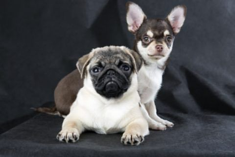 Dog おしゃれまとめの人気アイデア Pinterest Yumika チワパグ ミックス犬 犬