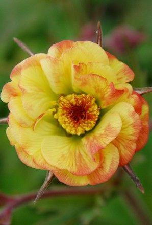Geum Tequila Sunrise Plants X3 My Flower Gardens Pinterest