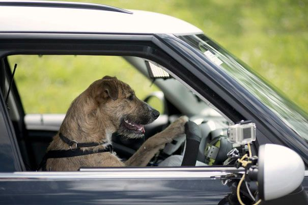 Dogs Driving An Actual Car Driving Dogs Is A Campaign By Spca Auckland Alongside With Mini New Zealand Their Goal Is To Show Dogs New Zealand Driving Humor