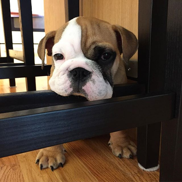 What Is Kennel Cough In Dogs Dogs Bulldog Puppies Your Dog