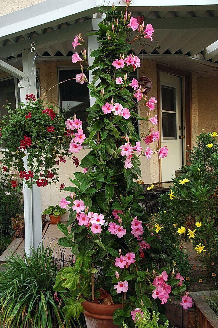 Trumpet Vine Fast Growing Deciduous Creeper Climbing Plant
