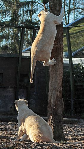 African white lion (Panthera leo krugeri)