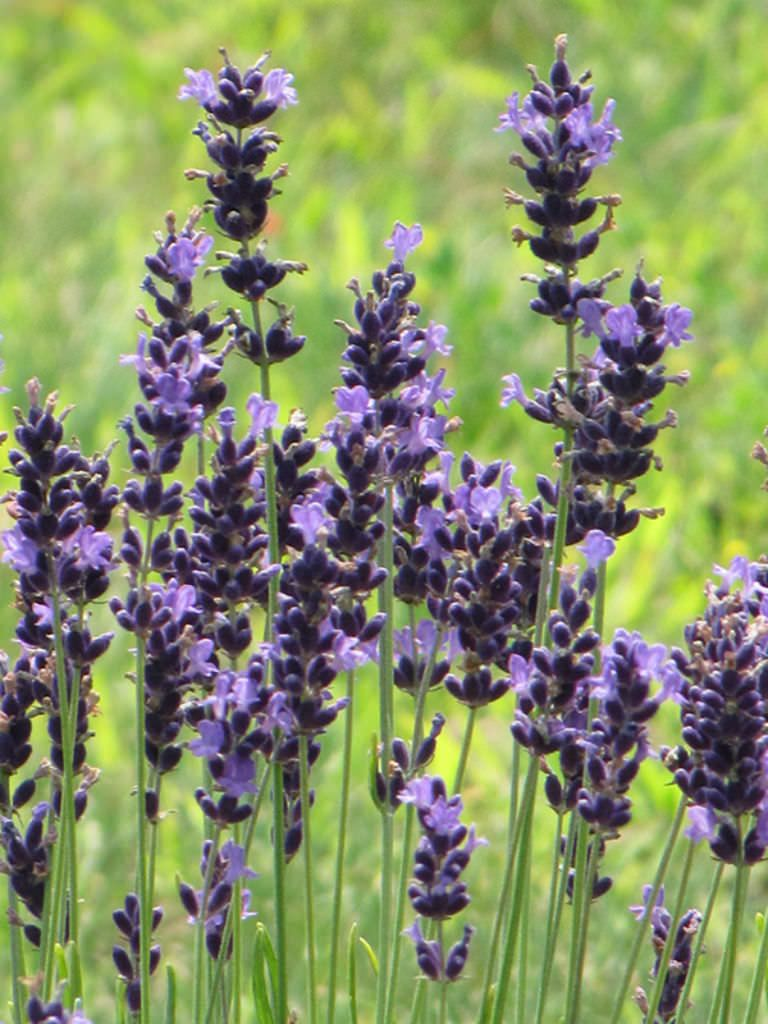 Lavandula Angustifolia Hidcote English Lavender World Of Flowering Plants Lavandula Angustifolia Planting Flowers Plants