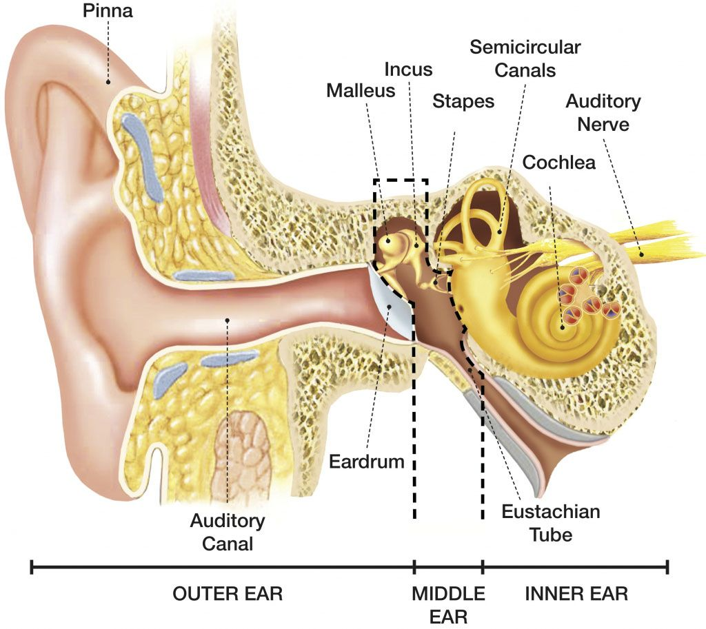 Anatomical structure of human ear inner, middle and outer parts ...