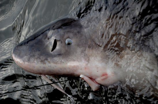 Fish the Willamette River near Portland for giant sturgeon (up to 300 lbs), details on this reasonably-priced adventure on Tom Stienstra's Outdoors