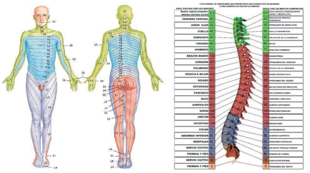 localizacion dermalgias | dermatomas | Pinterest | Superposiciones ...
