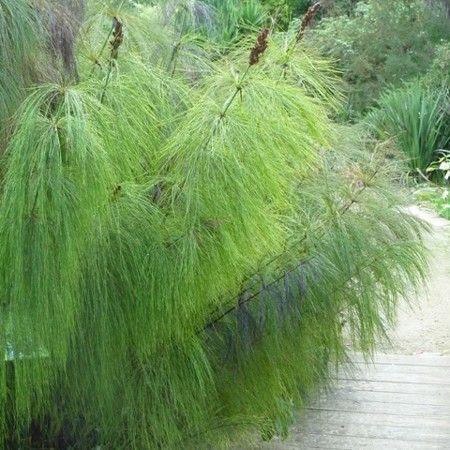 Elegia restio plants backyard plants and flowers for Plante ombre exterieur