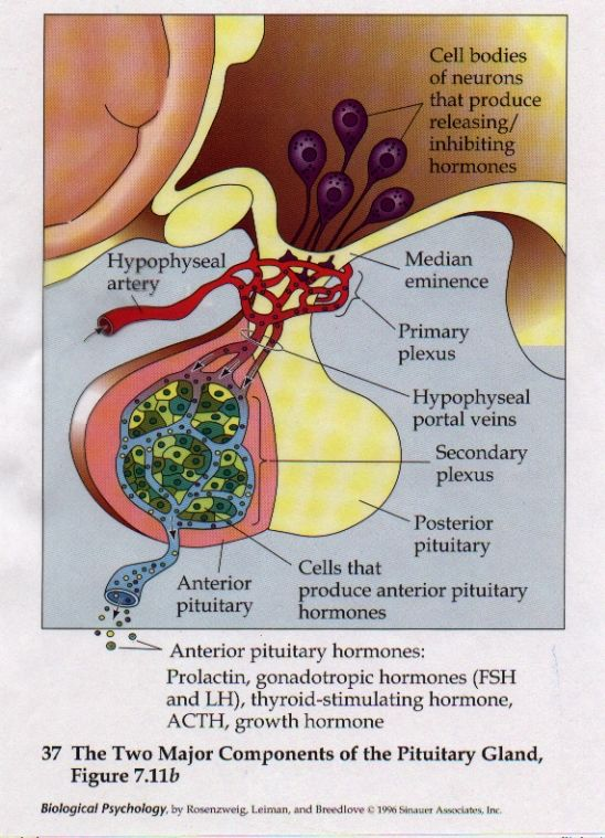 Pituitary Gland | Endocrine system, Medical coding ...