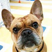 French Bulldog Rescue Network Panini In Ny French Bulldog