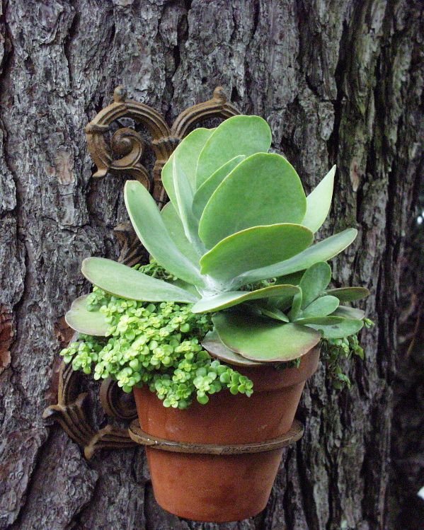 Kalancho palmatum & Sedum 'Ogon'