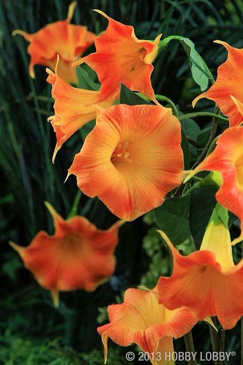 Peony Orange Morning Glories Morning Glory Flowers Flowering Vines Garden Vines