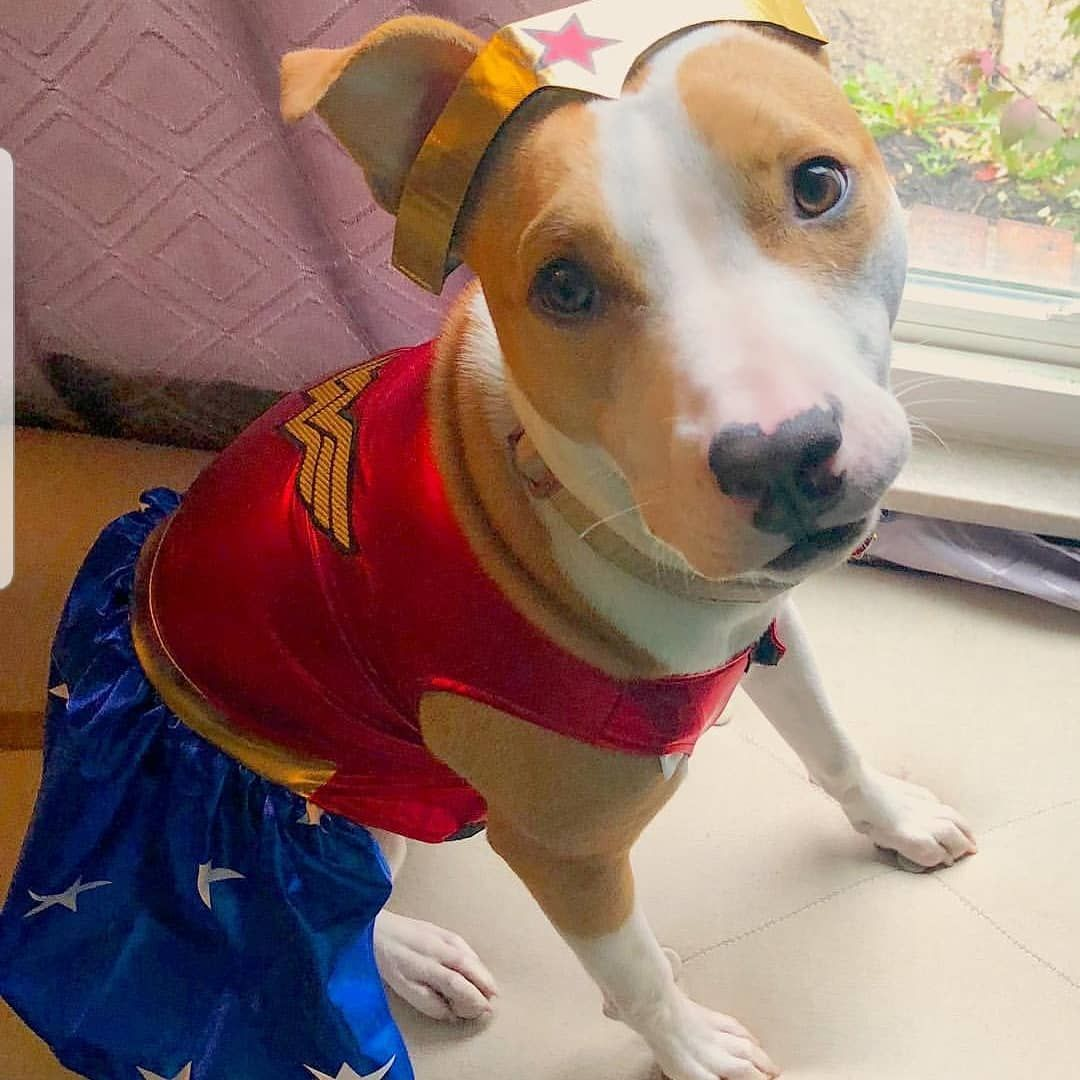 Our Pet Dog Or Cat Wonder Woman Fancy Dress Costume Outfit On A
