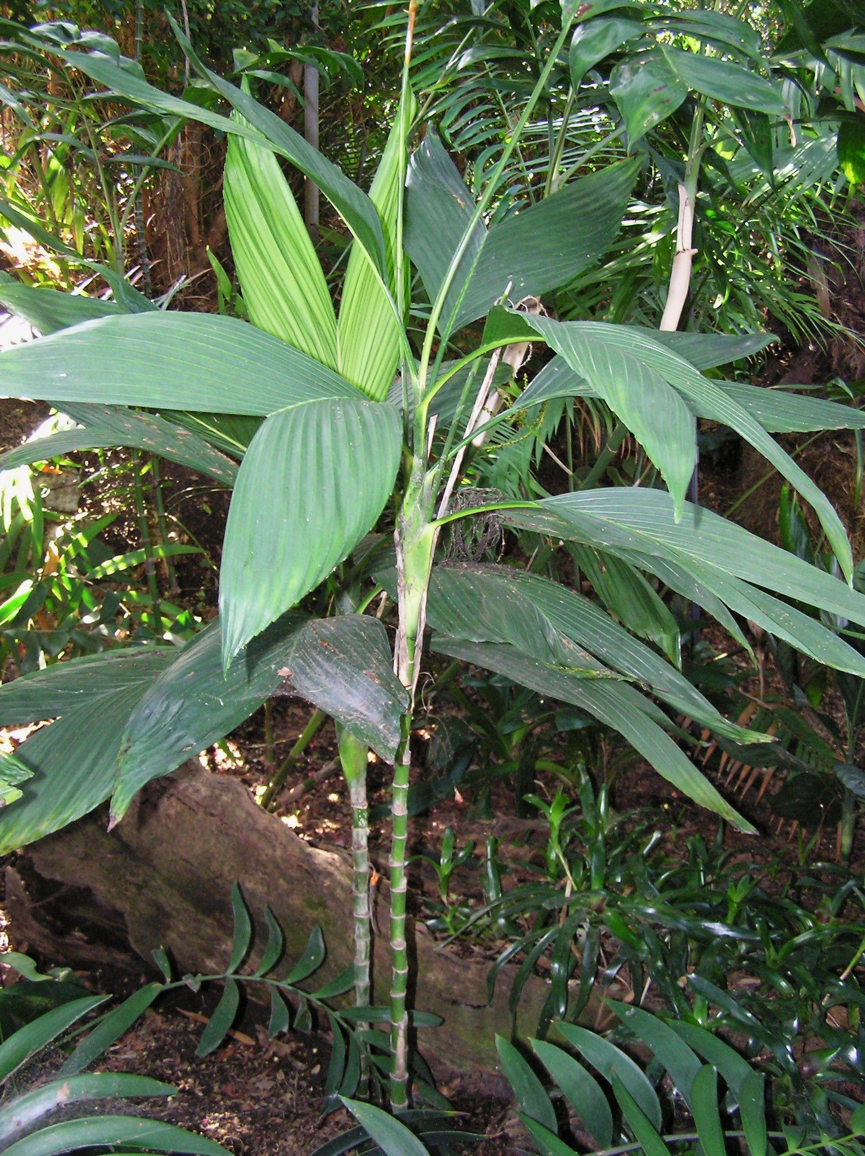 Chamaedorea Deckeriana Whitelock Garden Los Angeles Palm