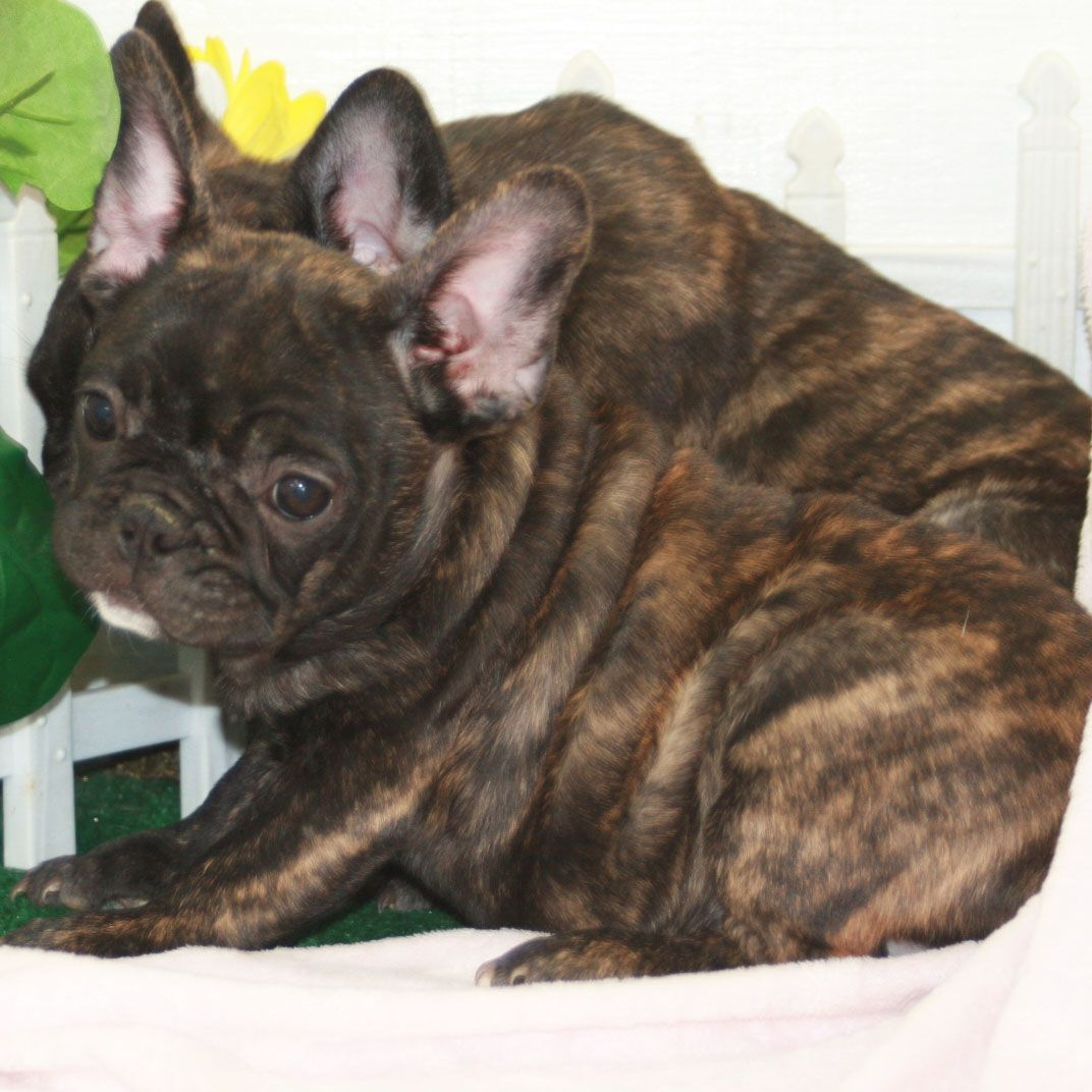 Google Image Result for http://frenchiepuppies.com/wp-content/uploads/2011/08/primary-3.jpg