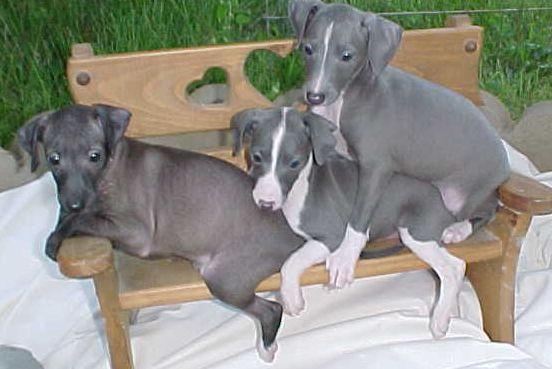 Italian Greyhound Layne S Italian Greyhounds Home Page Italian Greyhound Puppies Greyhound Puppy Italian Greyhound
