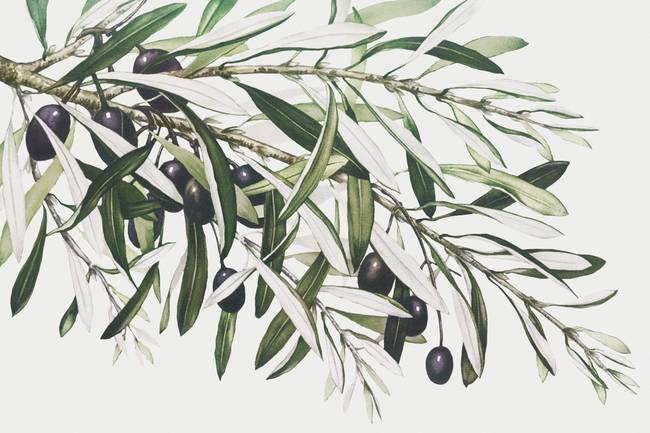 Olive Branches By Miriam And Ira D Wallach By Vintage Posters Olive Branch Tattoo Olive Branch Vector Free