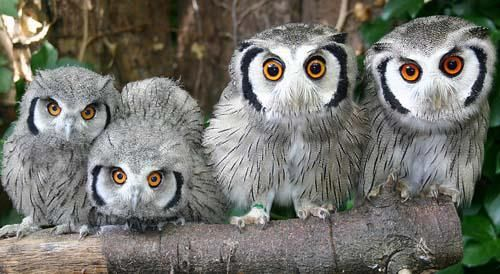 Whoo's there?