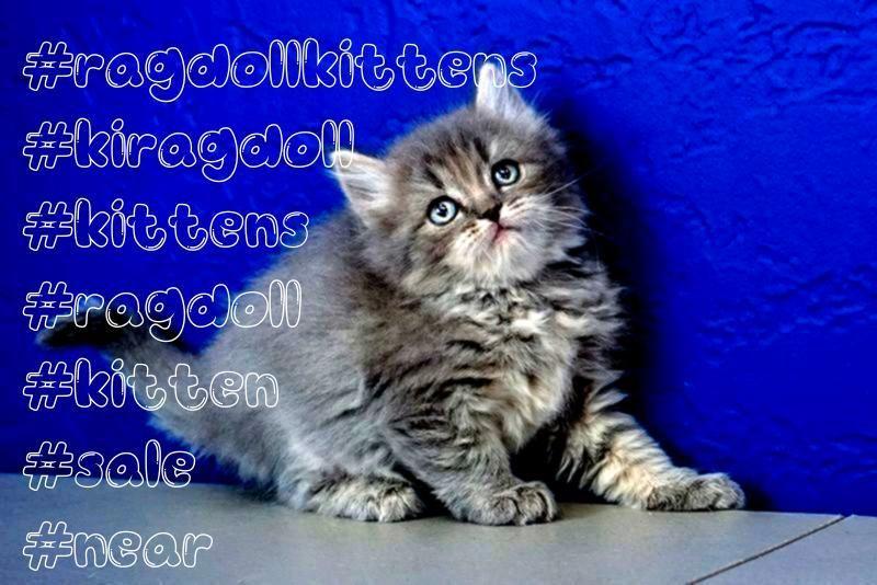 for Sale Near Me  Buy Ragdoll Kitten Ragdoll Kittens for Sale Near Me  Buy Ragdoll Kitten Ragdoll Kittens for Sale Near Me  Buy Ragdoll Kitten Ragdoll Kittens for Sale Ne...