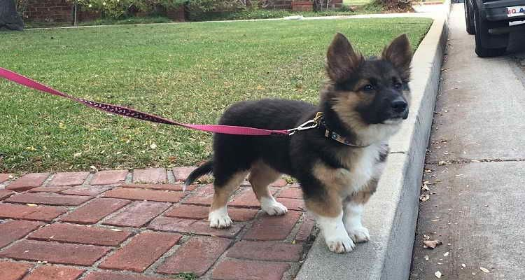 German Shepherd Dachshund Mix For Sale German Shepherd Corgi Mix